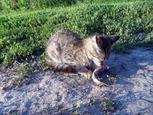 velká péro asijské kočička