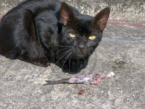 Asijské kočička s černým péro