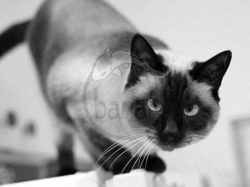 obrovský černý kohout cums v bílé kočička